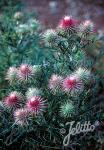CIRSIUM echinocephalum   Portion(s)