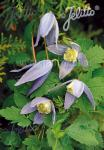 CLEMATIS alpina   Portion(s)