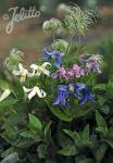 CLEMATIS integrifolia  Mongolian Bells® Portion(s)