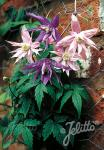 CLEMATIS Macropetala-Hybr.   Portion(s)