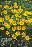 COREOPSIS auriculata f. nana  'Elfin Gold' Portion(en)