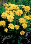 COREOPSIS grandiflora  'Early Sunrise' Portion(s)