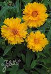 COREOPSIS grandiflora  'Santa Fe'(TM) Portion(en)