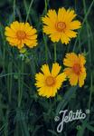 COREOPSIS grandiflora  'Schnittgold' Portion(s)