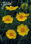 COREOPSIS grandiflora  'Sunburst' Portion(s)