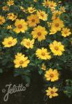 COREOPSIS pubescens  'Sunshine Superman' Portion(en)