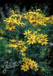 COREOPSIS major   Portion(s)