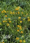 COREOPSIS palmata   Portion(s)