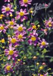 COREOPSIS rosea   Portion(s)