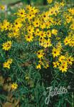 COREOPSIS tripteris   Portion(s)