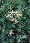 CORYDALIS acaulis   Portion(s)