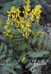 CORYDALIS cheilanthifolia   Portion(en)