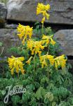 CORYDALIS lutea   Portion(s)