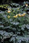 CORYDALIS sempervirens  'Alba' Portion(s)