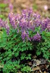 CORYDALIS solida   Portion(s)
