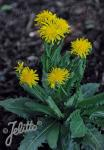 CREPIS pyrenaica   Portion(s)