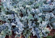 CRAMBE maritima   Portion(en)