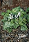 CYCLAMEN balearicum   Portion(en)
