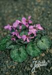 CYCLAMEN alpinum   Portion(s)