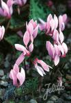 CYCLAMEN cilicium   Portion(s)