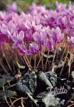 CYCLAMEN hederifolium  'Rosenteppich' Portion(s)