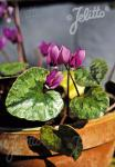 CYCLAMEN pseudibericum   Portion(s)
