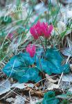 CYCLAMEN repandum   Portion(en)