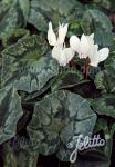 CYCLAMEN hederifolium f. albiflorum   Portion(en)