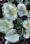 CYCLAMEN hederifolium Silver-leaved Group 'Silver Leaf Pink'