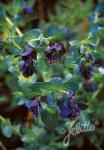 CERINTHE major  'Purpurascens' Portion(en)