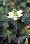 CHELONE glabra   Seeds