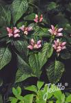 CHELONE lyonii  'Pink Temptation' Seeds