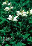 CHELONE obliqua var. alba   Seeds