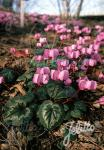 CYCLAMEN coum   Seeds