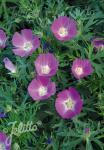 CALLIRHOE involucrata var. tenuissima   Portion(en)