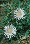 CARLINA acaulis ssp. caulescens   Portion(en)