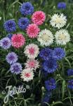 CENTAUREA cyanus  'Double Mixture' Portion(s)