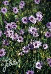 CATANANCHE caerulea   Portion(en)