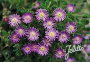 DELOSPERMA hispida   Portion(en)
