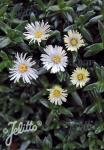 DELOSPERMA congestum f. album  'White Nugget' Portion(en)