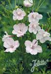 DELPHINIUM grandiflorum f. compactum Butterfly-Series 'Rose Butterfly' Portion(s)
