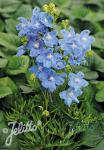 DELPHINIUM grandiflorum Summer-Serie 'Summer Blues' Portion(en)