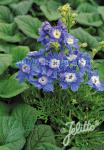 DELPHINIUM grandiflorum Summer-Serie 'Summer Cloud' Portion(en)
