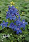 DELPHINIUM grandiflorum Summer-Series 'Summer Nights' Portion(s)