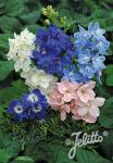 DELPHINIUM grandiflorum Summer-Series 'Summer Colors'