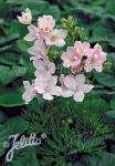 DELPHINIUM grandiflorum Summer-Serie 'Summer Morning' Portion(en)