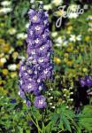 DELPHINIUM Pacific-Hybr. Pacific-Premium-Series 'Summer Skies Premium' Portion(s)