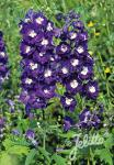 DELPHINIUM Pacific-Hybr. Pacific-Premium-Series 'King Arthur … Portion(s)