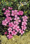 DIANTHUS alpinus   Portion(s)