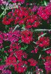DIANTHUS barbatus  'Oeschberg' Portion(s)